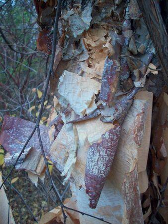 bark peeling from tree: Birch Tree