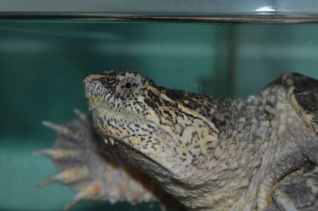 snapping turtle: Snapping Turtle
