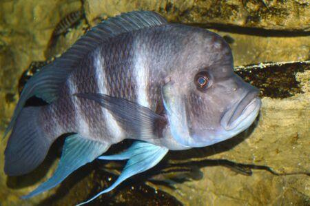 Cichlid pesce Archivio Fotografico - 49449364