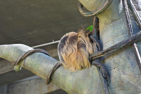 oso perezoso: Vago Foto de archivo