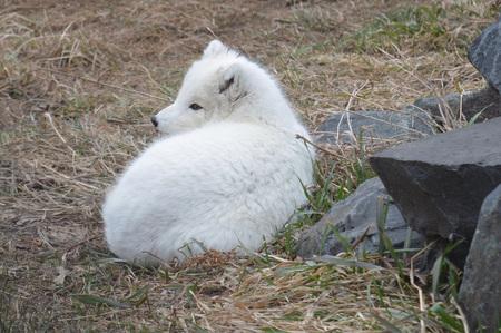 arctic fox: Arctic Fox Stock Photo
