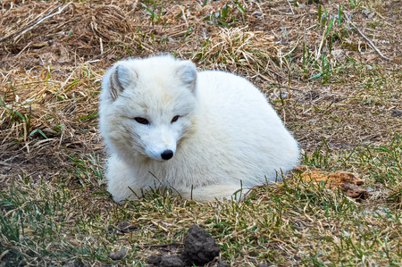 Arctic Fox Banco de Imagens