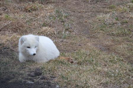 Arctic Fox Stock fotó