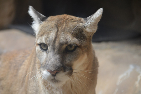 puma cat: Mountain Lion