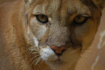 prowl: Mountian Lion