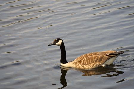 geese: Geese