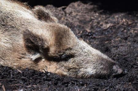 wildschwein: Boar