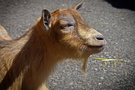 barnyard: Goat