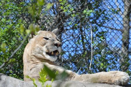 puma cat: Puma