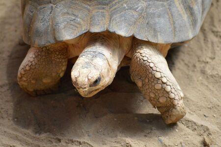 radiated: Tortoise