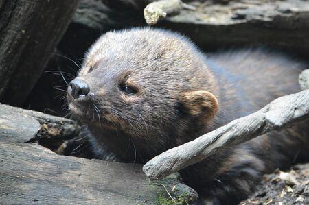 fisher animal: Fisher