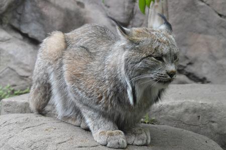 the lynx: Lynx