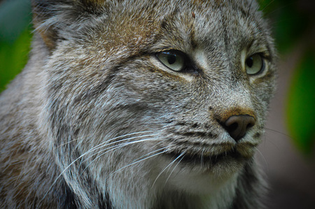 lince: Lince