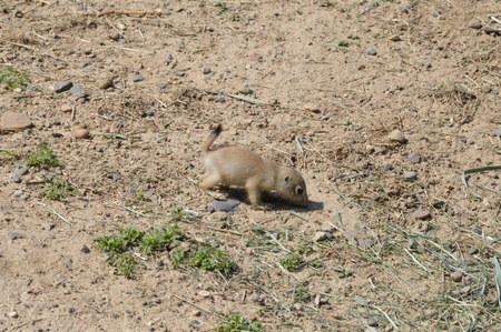 nibble: Prairie Dog