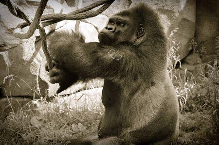 Gorilla Archivio Fotografico - 60590817