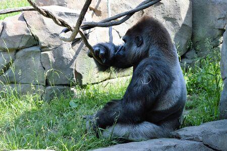 silverback: Gorilla