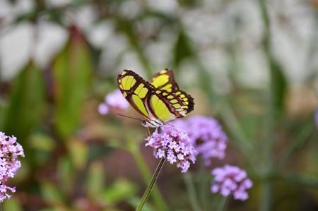 green butterfly: Butterfly
