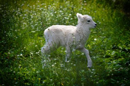 sheep eye: Sheep