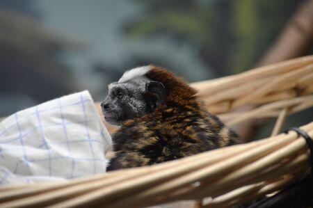 primates: Tamarin