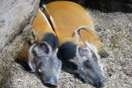 cuddles: Red River Hogs