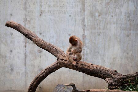Monkey neve Archivio Fotografico - 61834291