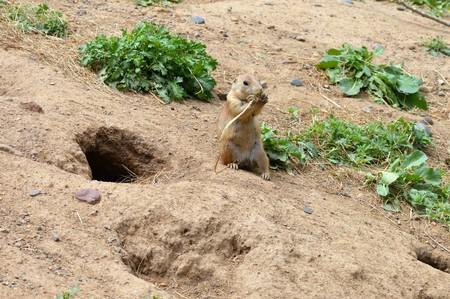munch: Prairie Dog