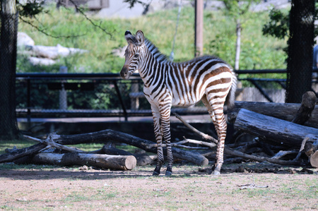 Zebra Stock Photo - 61895693