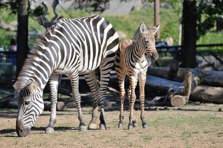 Zebras Stock Photo - 61895701