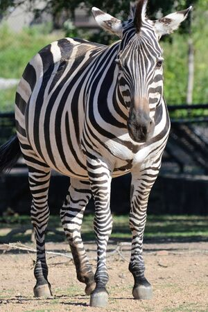 Zebra Stock Photo - 61895719