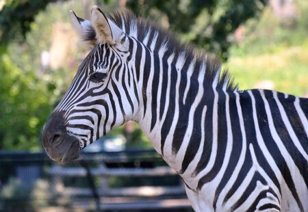 Zebra Stock Photo - 61895817