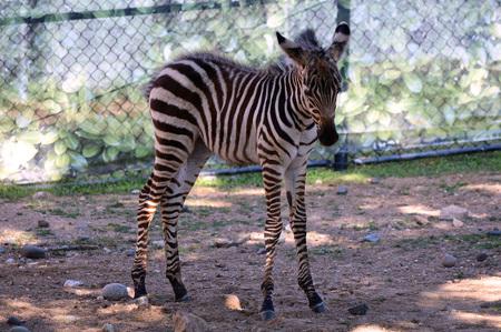 Zebra Stock Photo - 61895833