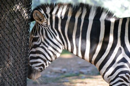 Zebra Stock Photo - 61895876
