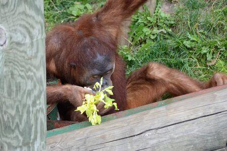 Orangutan  Archivio Fotografico - 62193339