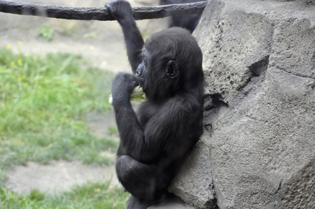 Gorilla Archivio Fotografico - 62193344