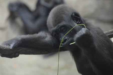 Gorilla Archivio Fotografico - 62193367