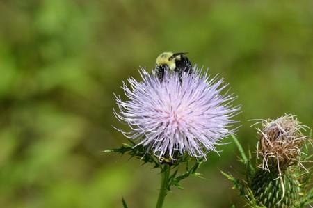 꿀벌에 엉겅퀴