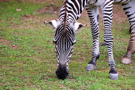 Zebra Stock Photo - 73593295