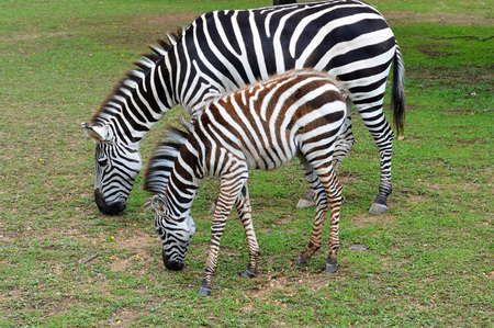 Zebras Stock Photo - 73593296