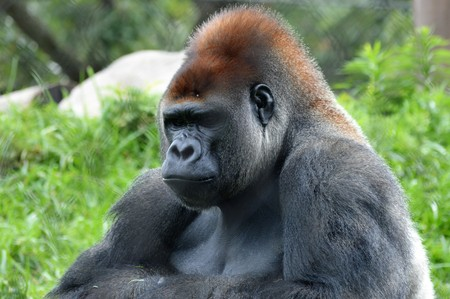 Gorilla Standard-Bild - 73746216