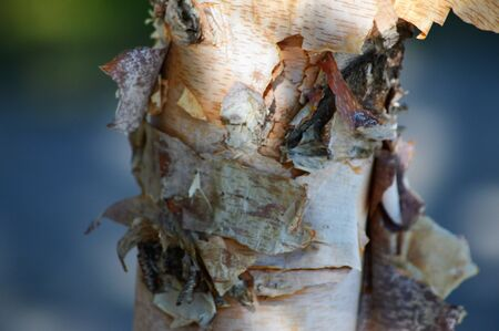 Birch Tree Stock Photo - 73928862