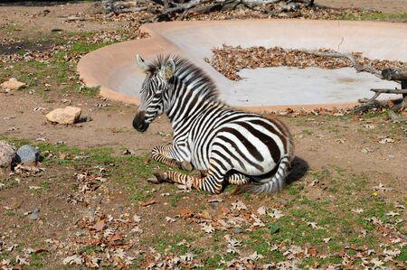 Zebra Stock Photo - 74948765
