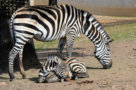 Zebras Stock Photo - 73928871