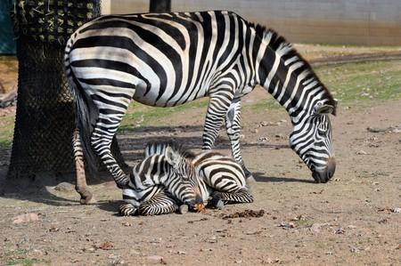 Zebras Stock Photo - 73928876
