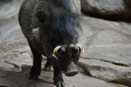 Visayan Warty Hog