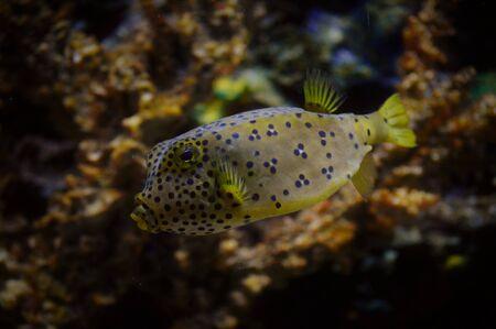 fish tank: Box Fish