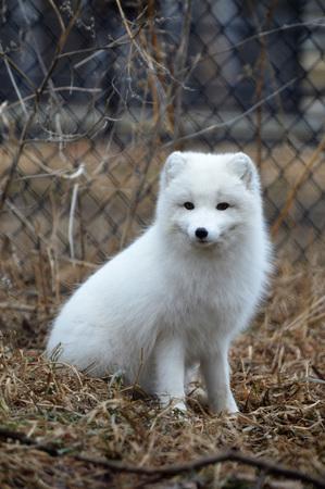 Arctic Fox Banco de Imagens - 78327546