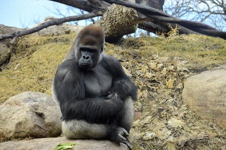 Gorilla Standard-Bild - 78327668