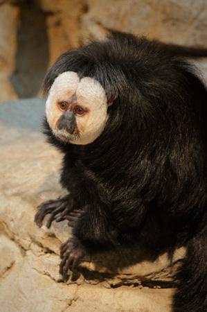Saki Monkey Stock Photo