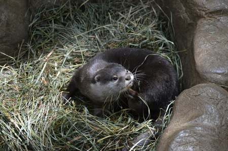 small clawed: Otter