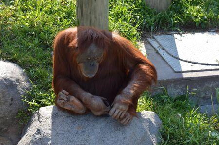 to contemplate: Orangutan